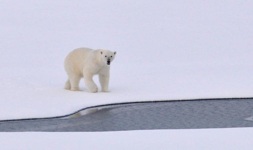 Ver a los osos polares